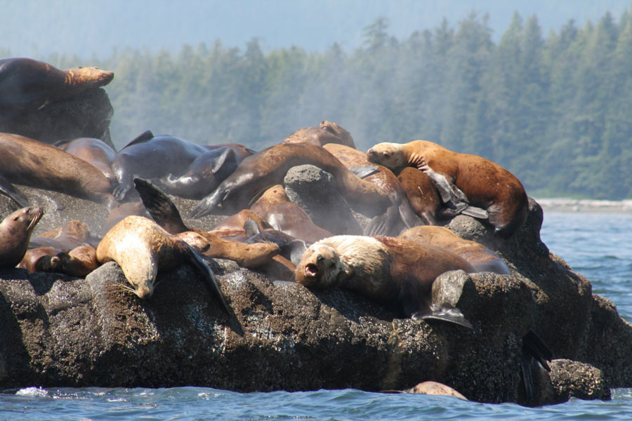 Sea lions love hanging around the waters off Victoria