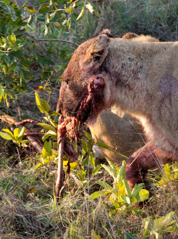 Big 5 safari: This lion wanders off with part of a freshly-killed impala