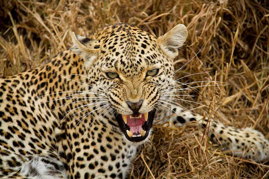 Leopards are perhaps the most elusive of the Big 5 animals to spot on safari