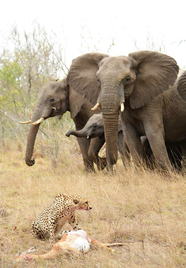 A cheetah guards her kill while watched by a herd of elephants