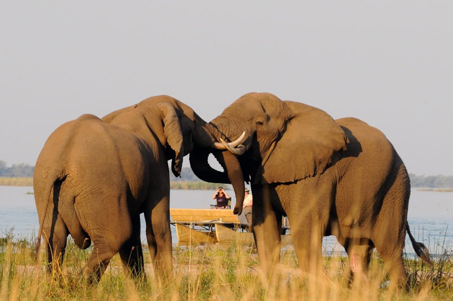 At Chiawa Camp, you may see elephant bulls fighting