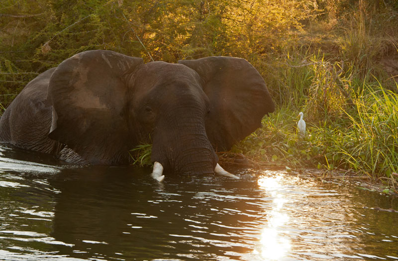 An elephant bathing in the Lower Zambezi