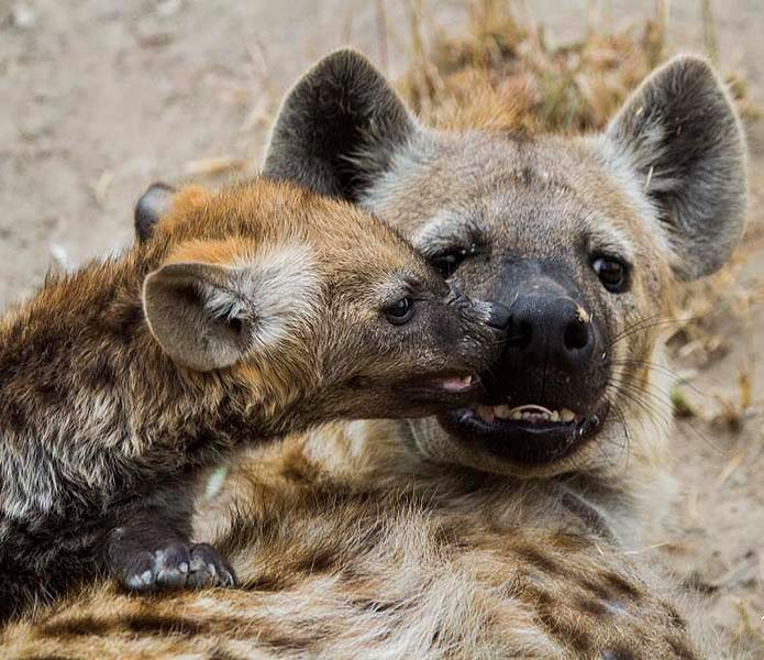 A hyena mom with her pup