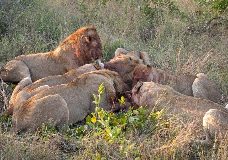 Big 5 safari animals include lions