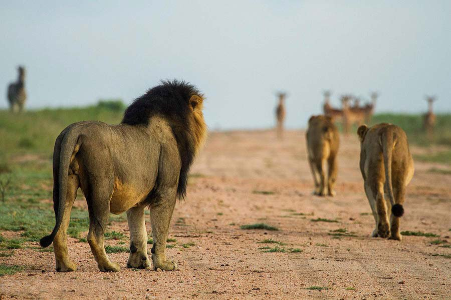 On a big 5 Safari, you may see lions hunting impala