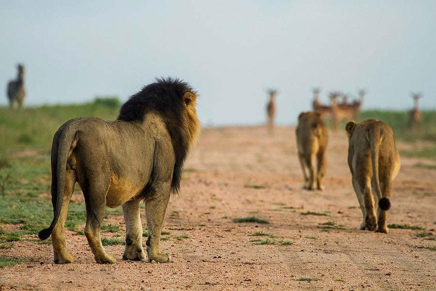 On a big 5 Safari, you may see lions hunting impala