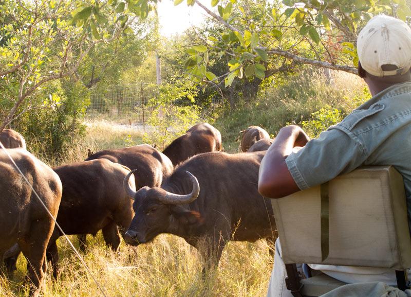 Grazing herd of Cape buffalo