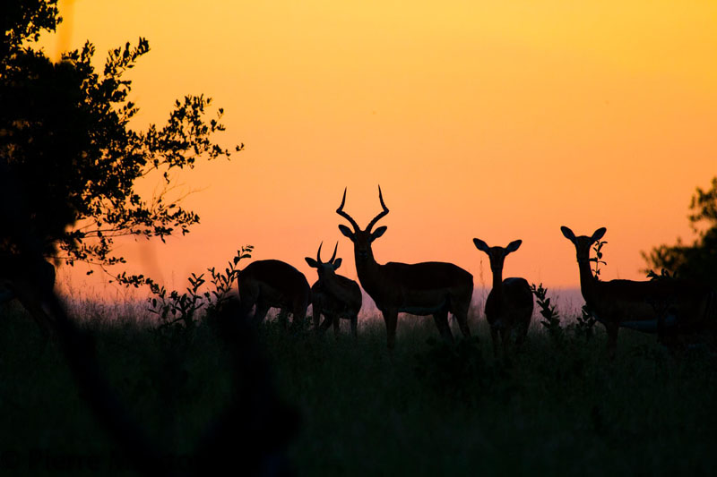Impala and kudu outlined against the setting sun