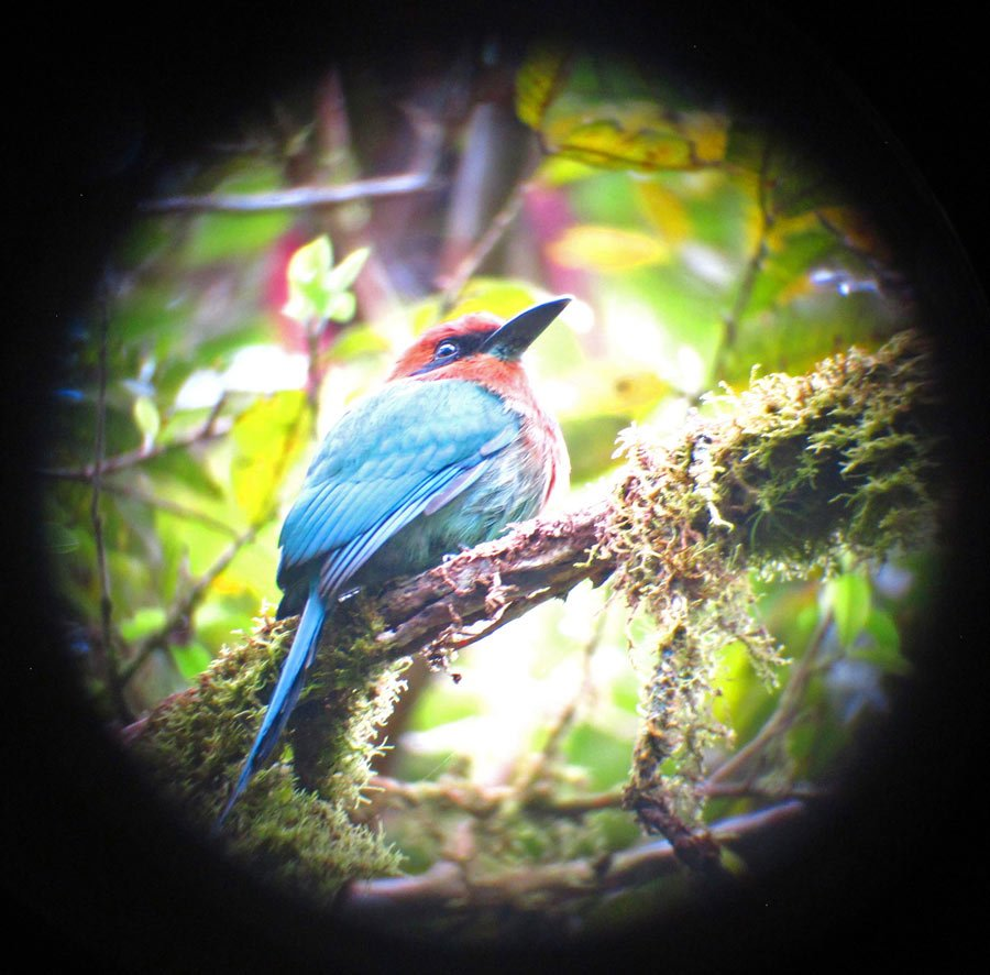 The colorful broad-billed motmot has a blue tail, greenish body and reddish head and chest