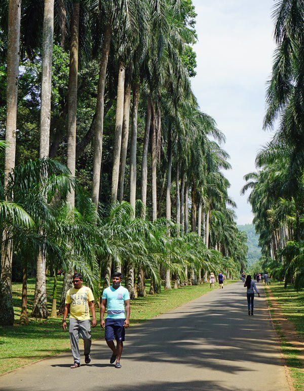 Be sure to walk down the palm-lined Royal Avenue in Kandy's Peradeniya Botanical Garden