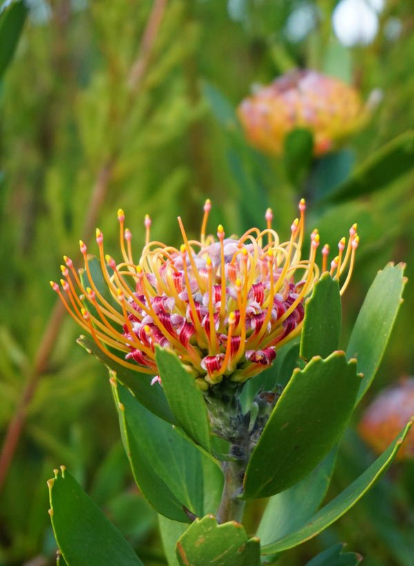 Protea flowers, sometimes called sugarbushes, are common in South Africa