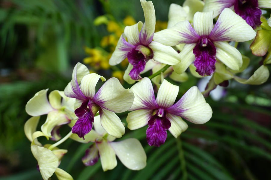 Beautiful orchids on display at the Kandy Botanical Gardens