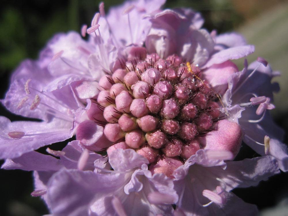 Scabiosa flower at Kirstenbosch Gardens