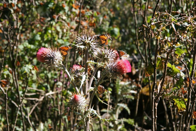 Monarch butterflies alight on pink thistles in Chincua Sanctuary in Mexico