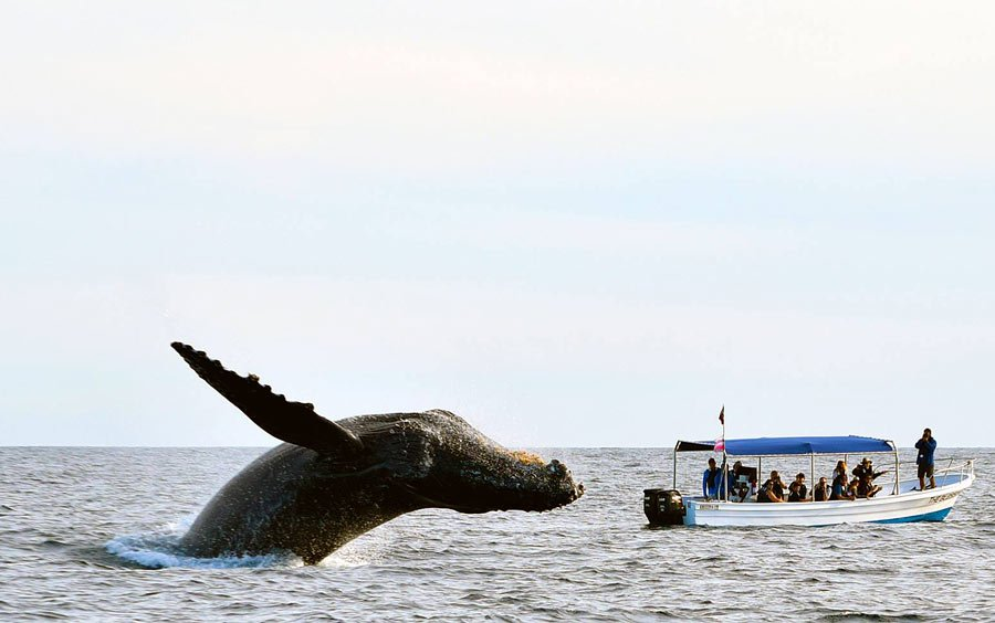 Humpback whales in Cabo are commonly seen in winter