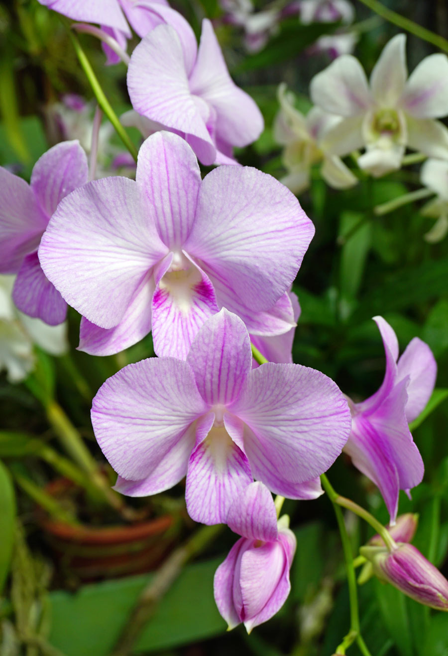 There are beautiful orchids on display at the Kandy Royal Botanical Gardens.