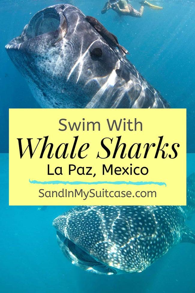 Swim with whale sharks in La Paz, Mexico