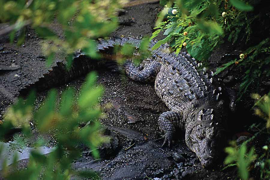 Crocodiles? Yes, see them at Playa Linda.