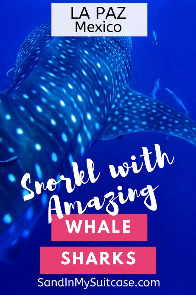 Snorkel with whale sharks in La Paz, Mexico