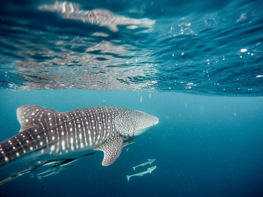 Whale sharks are the largest fish in the world (not sharks)