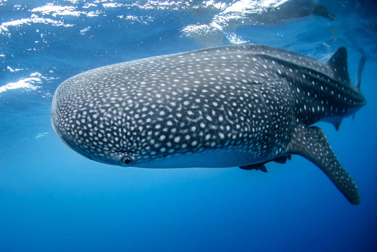 La Paz is one of the few places in the world where you can swim with whale sharks.