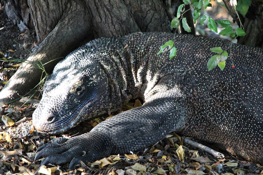 This Komodo dragon may look harmless - but watch out when it moves!