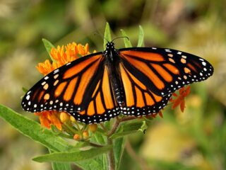 Visiting the Monarch butterfly sanctuary is one of the best things to do in Morelia!