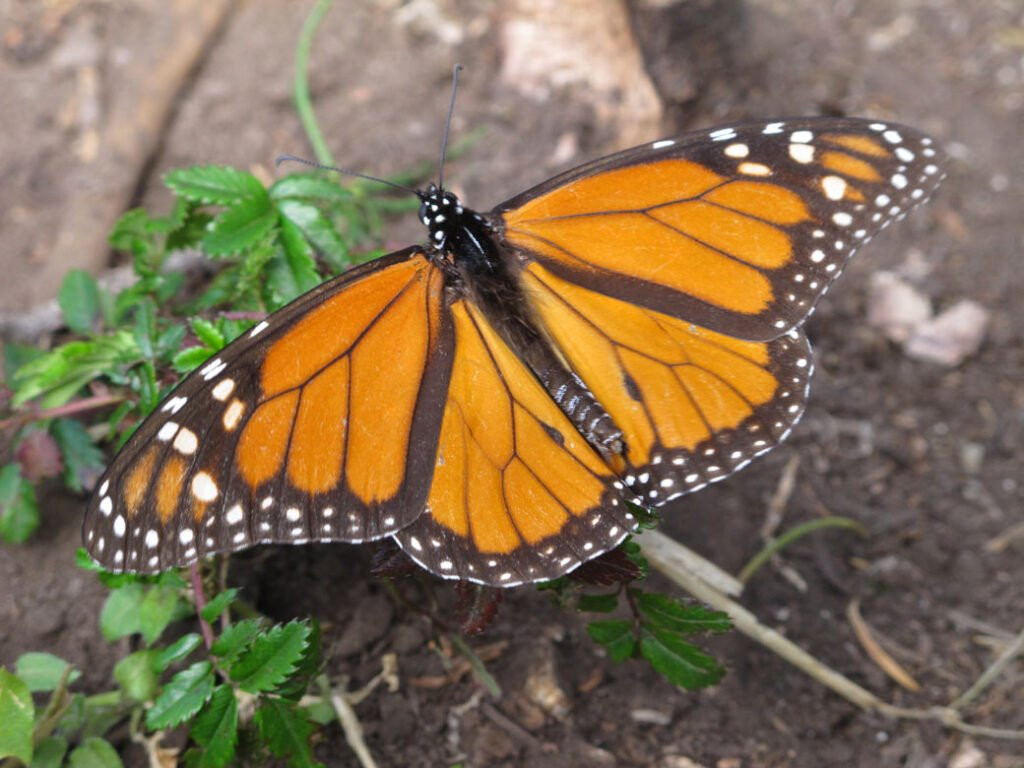 Monarch butterflies are easily recognized by their distinctive orange and black markings.