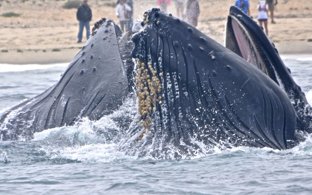 """The largest of the """"toothed"""" whales, sperm whales are one of the many species of Cabo whales, but chances of spotting them are rare."""