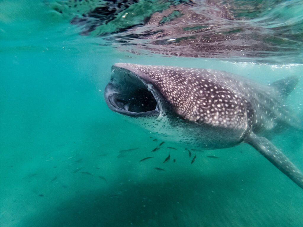 You won't regret booking a tour to snorkel with the La Paz whale sharks!