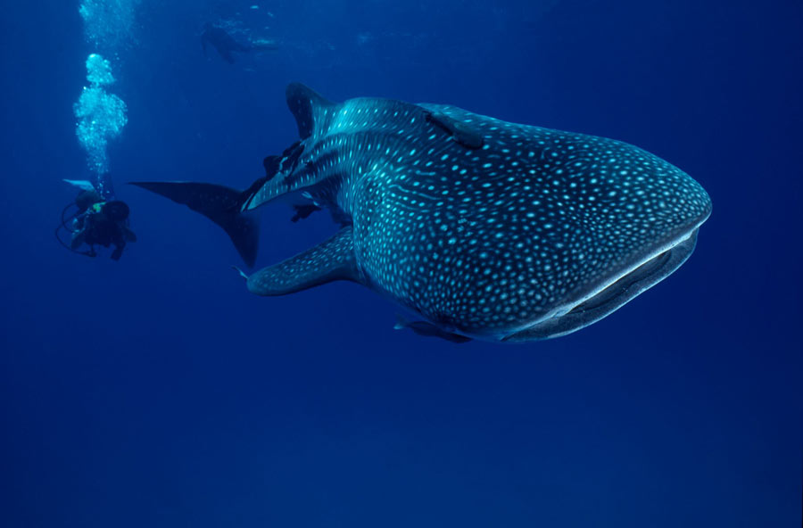 A new Alila Purnama itinerary highlights diving with whale sharks in West Papua.