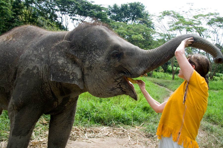 Feeding bananas to a baby elephant in Thailand...