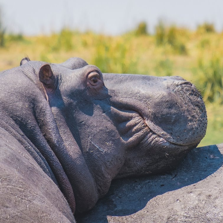 You see hippos everywhere on this Chobe River safari on the Zambezi Queen.