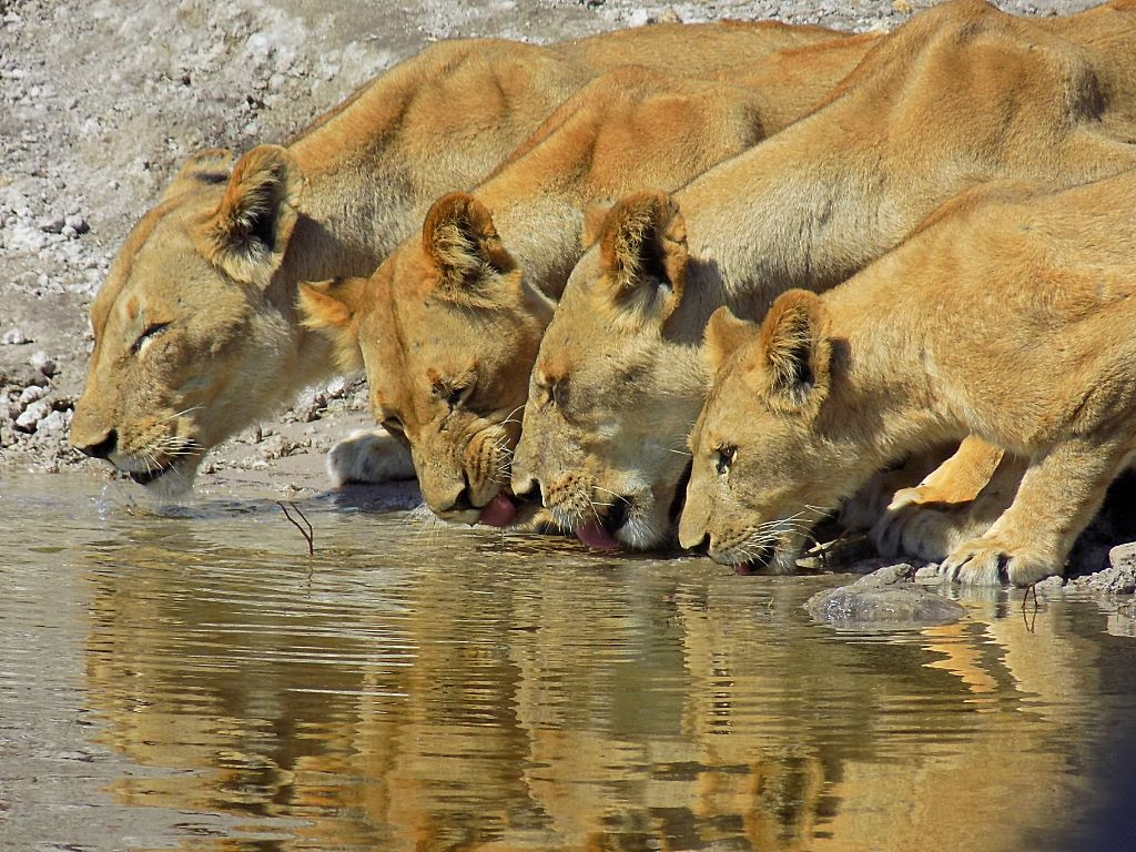 If you're lucky, you'll see lions too on your game drive in Chobe National Park.