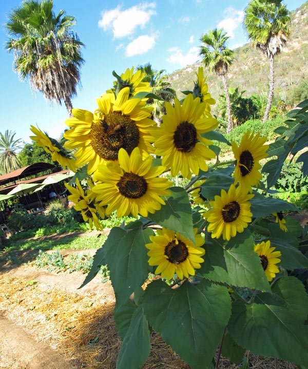 Sunflowers at Flora Farms
