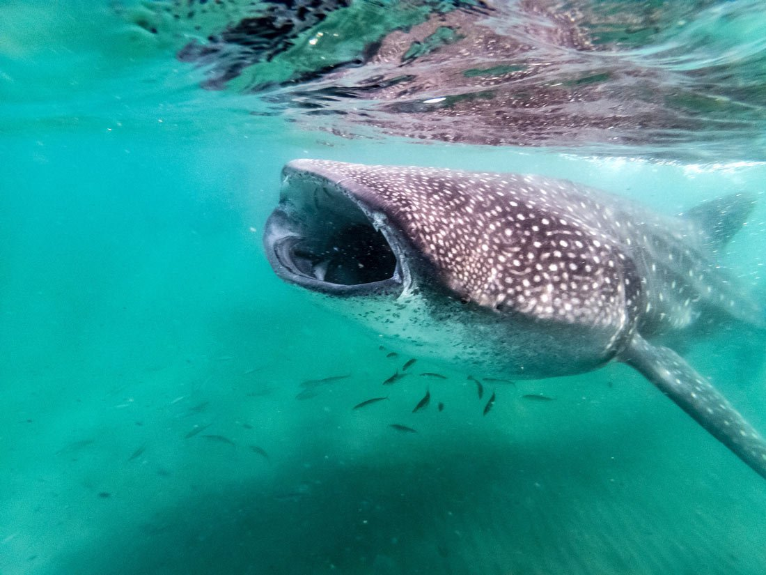 Must do in Cabo? Book a day tour to swim with whale sharks in La Paz.
