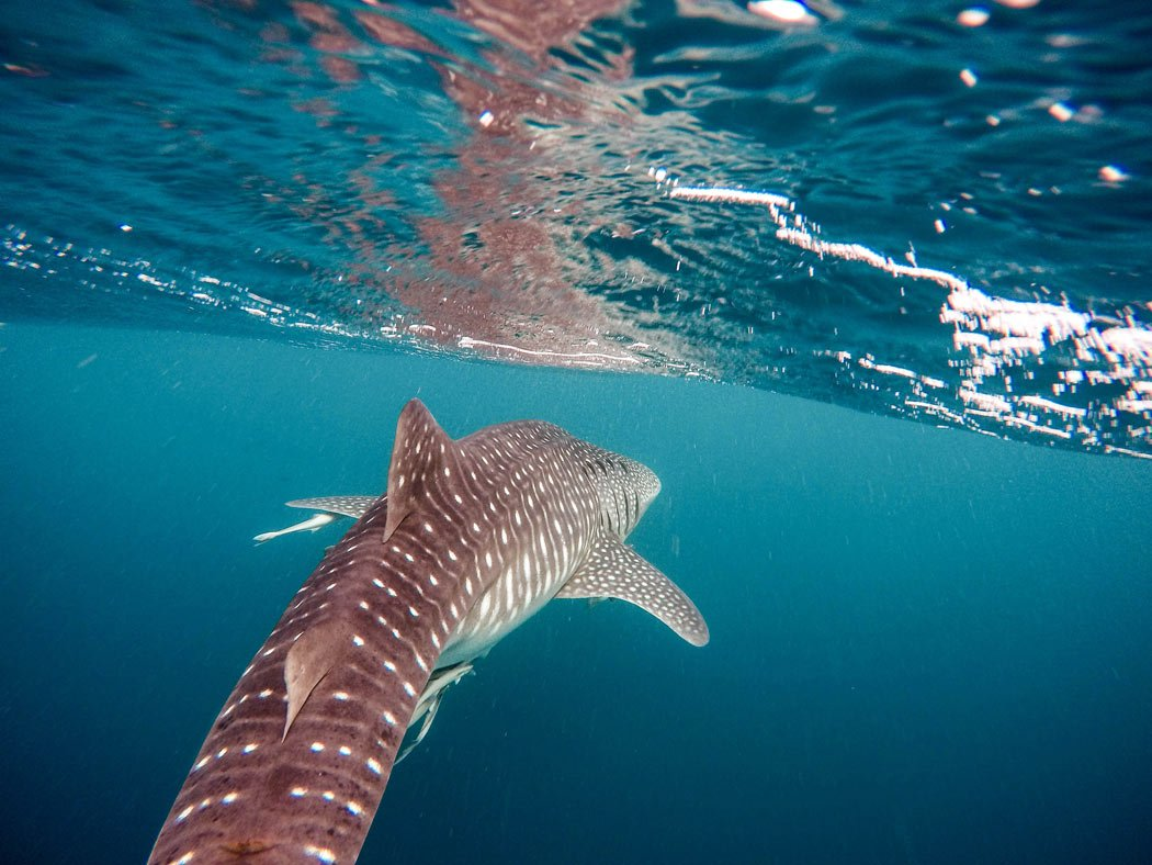 Swimming with the Baja whale sharks is one of the best day trips from Cabo San Lucas!