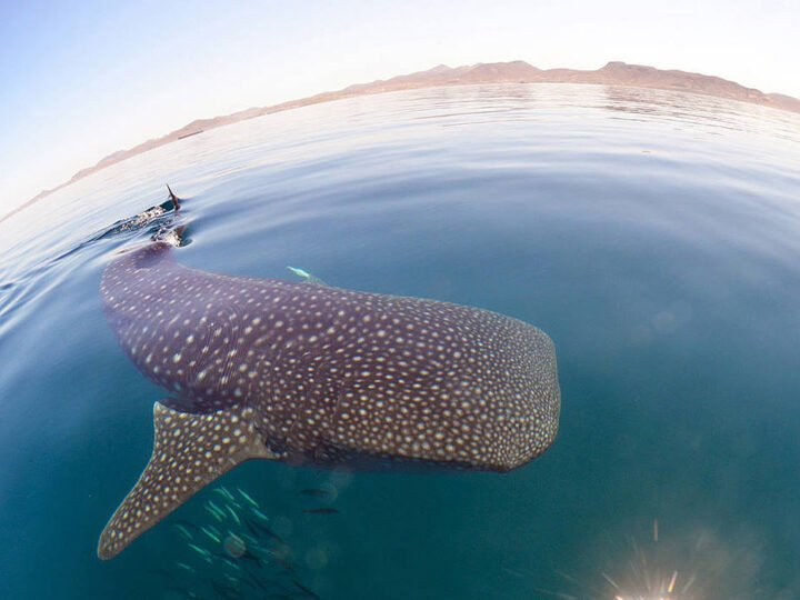 Swim with whale sharks in La Paz