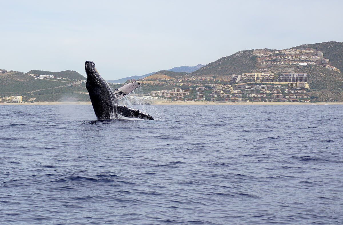 We got it! We caught a whale breaching with our camera on our most recent visit to Cabo
