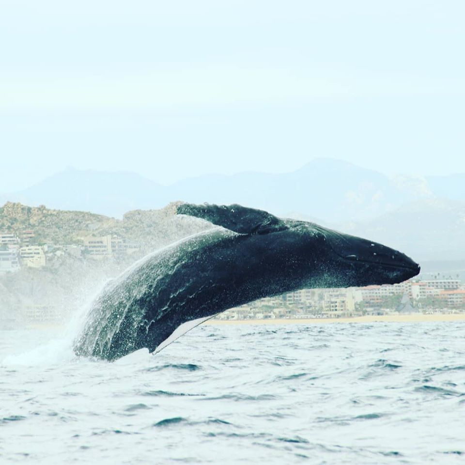 We were treated to an amazing show of whale watching in Cabo on our most recent visit.