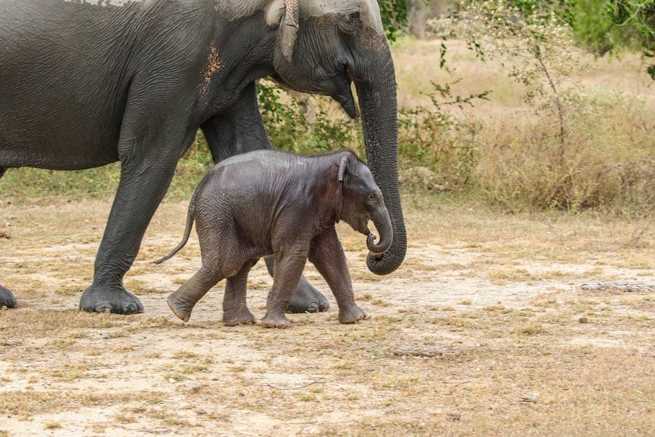 Chances are excellent you'll see wild elephants while glamping at Wild Coast Tented Lodge in Sri Lanka.