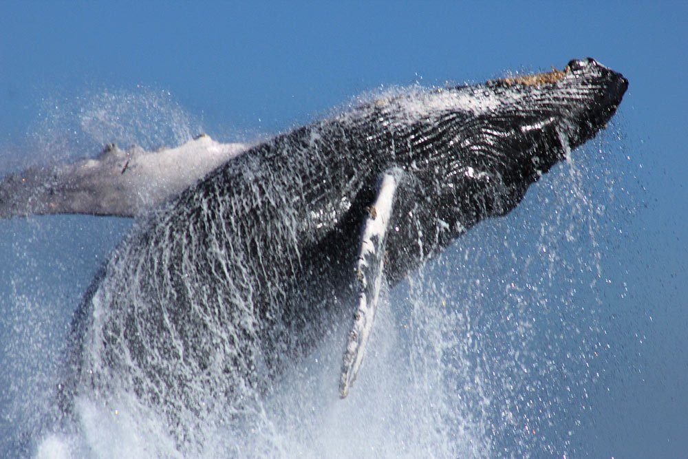 Humpbacks grow to 60 feet and weigh up to 40 tons - they make quite a splash! (Credit: Cabo Expeditions)