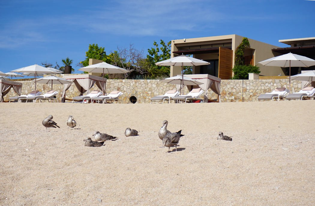 Only seagulls are out by the beach in front of Montage Los Cabos beach in the morning.