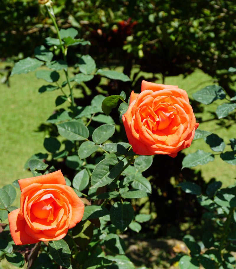 Beautiful roses bloom in the gardens a The Secret Ella