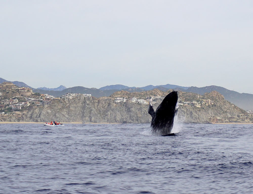 Cabo San Lucas whale watching is one of the most awesome activities in the whale season!