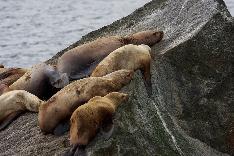 The Stellar sea lions you commonly see in British Columbia coastal waters are twice as big as Californian sea lions.