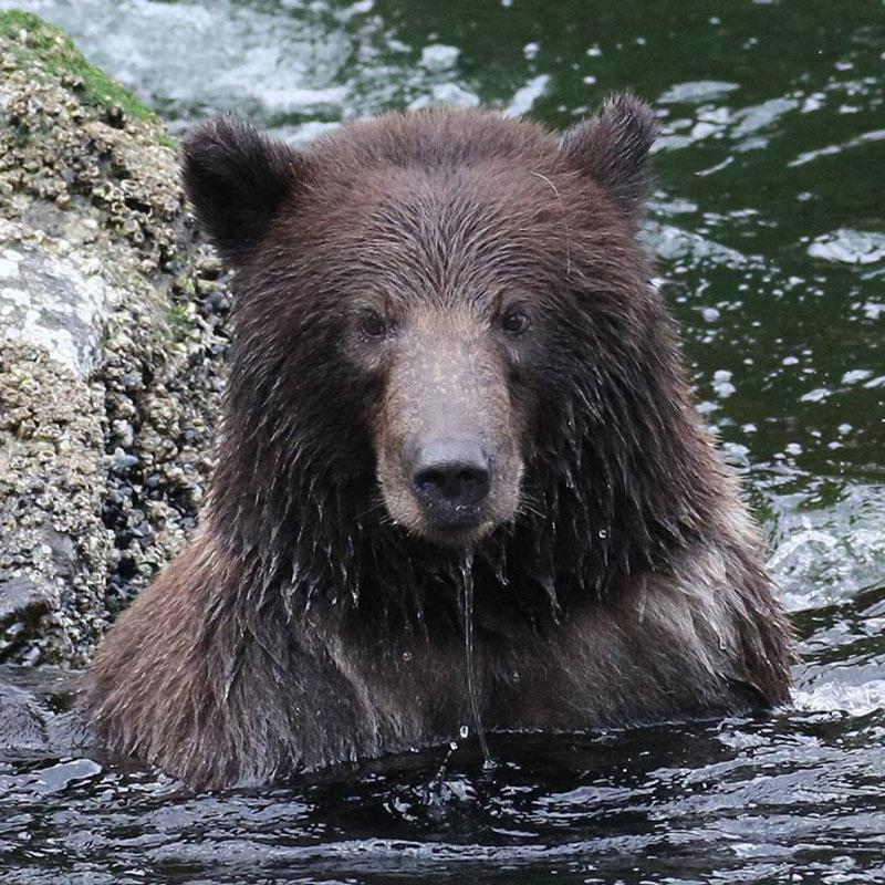 Yep, you'll see bears on your UnCruise Alaska trip