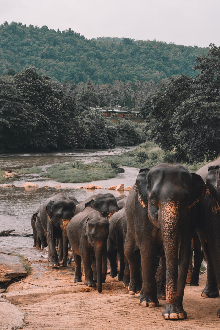 An estimated 7,500 wild elephants call Sri Lanka their home.
