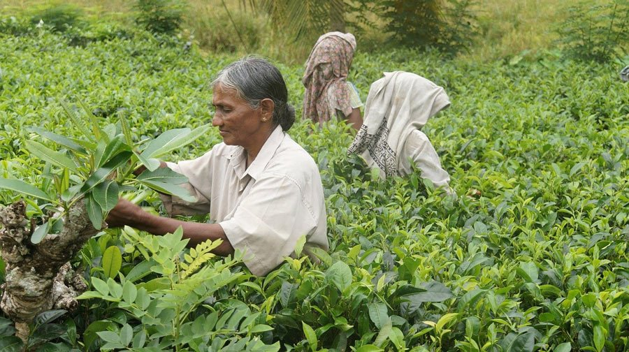 Ladies pick tea leaves in the hill country of Sri Lanka