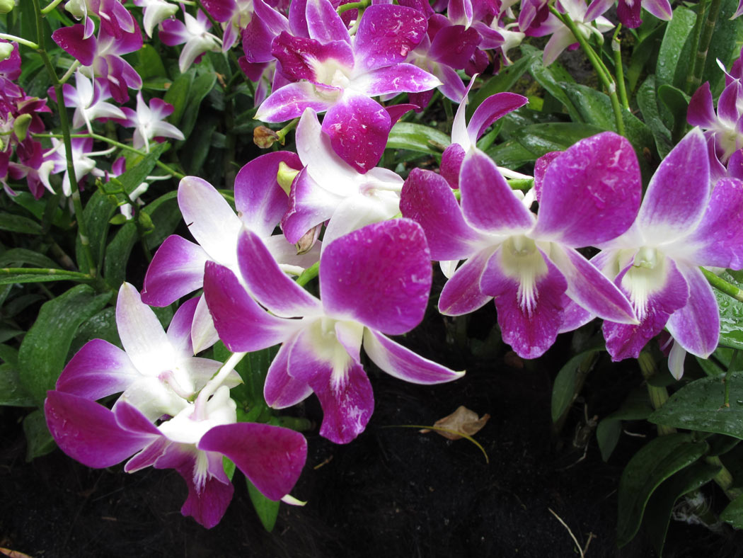 The National Orchid Garden is a highlight when visiting the Singapore Botanic Gardens.